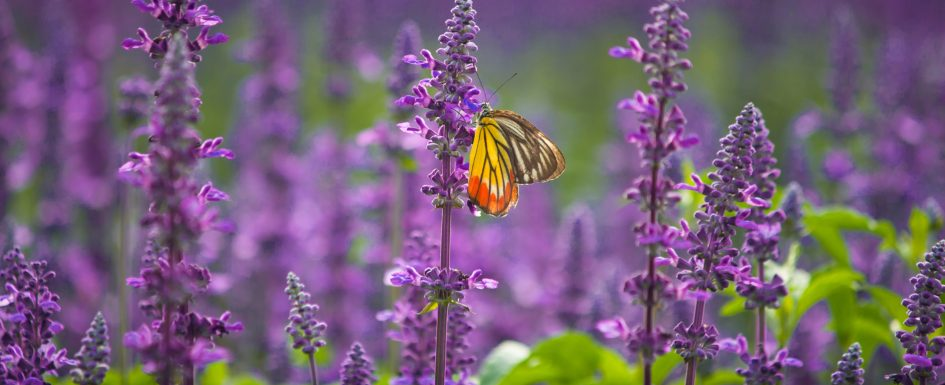A monarch butterfly perches on a flowering stalk of purple salvia blossoms.