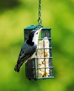 A white-breasted nuthatch clings to a suet basket feeder. Suet provides birds with healthy fats that are essential for surviving cold weather.