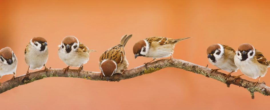Seven tree sparrows sit on a tree branch against a blurred orange background.