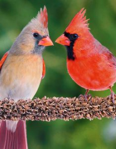 A female and male pair of Northern Cardinals sit next to each other on a branch.