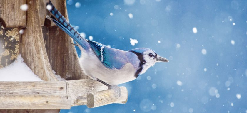 A Blue Jay perches on a wooden hopper feeder filled with seeds.