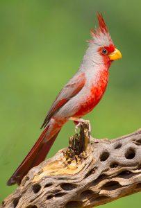 A pyrrhuloxia perches on a desiccated tree limb.